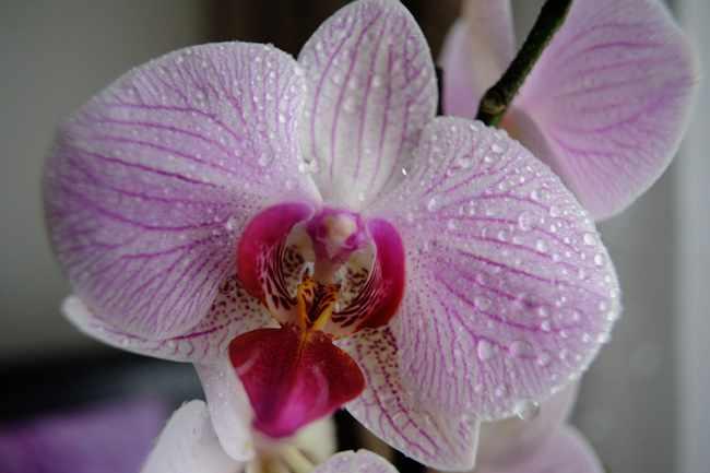 Личный опыт: правильный уход за Орхидеей в домашних условиях