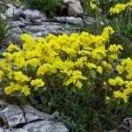 Цветы солнцецвета