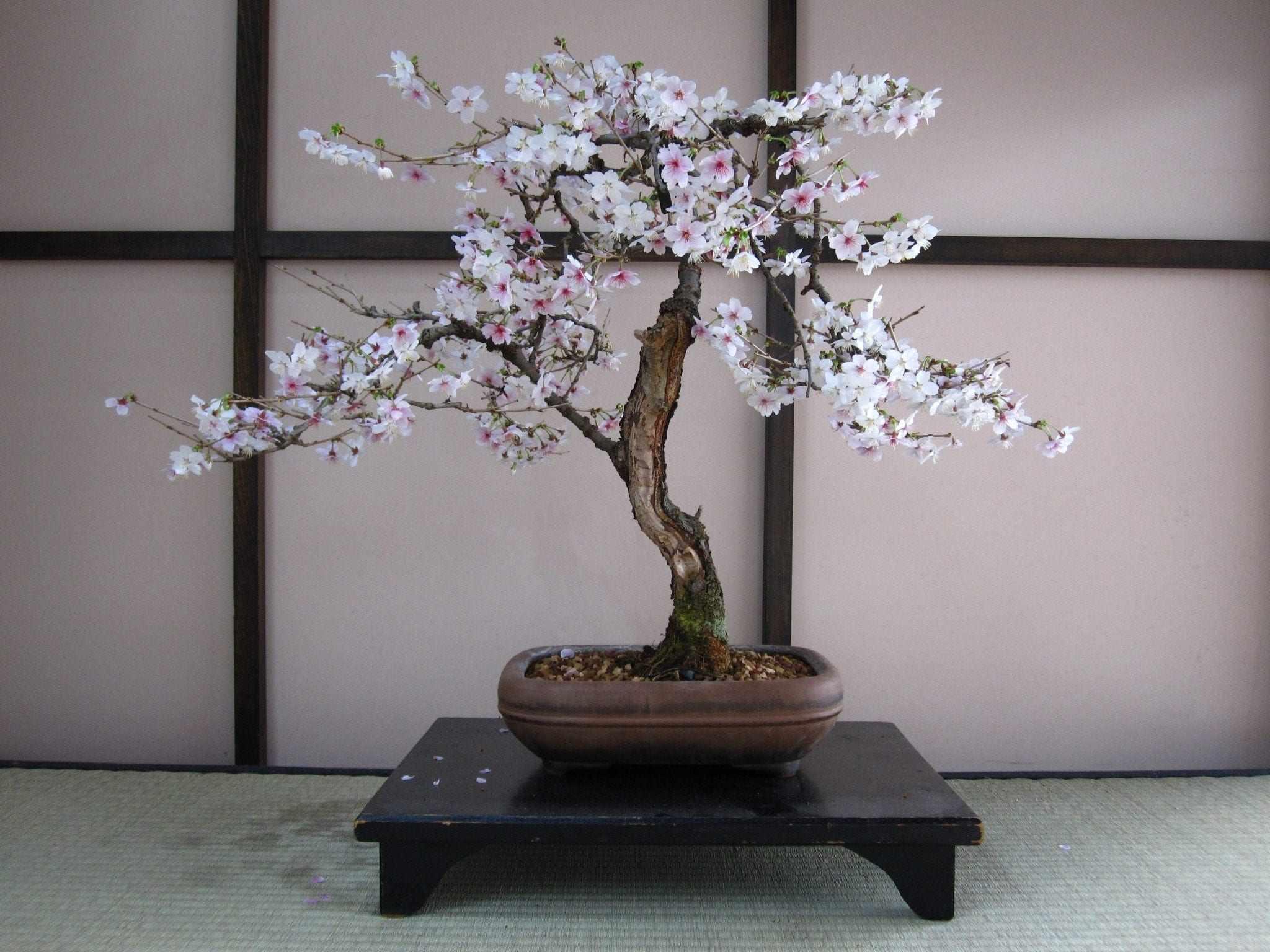 Сакура-бонсай