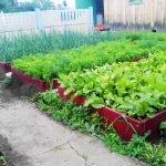 Выращивание листьев салата