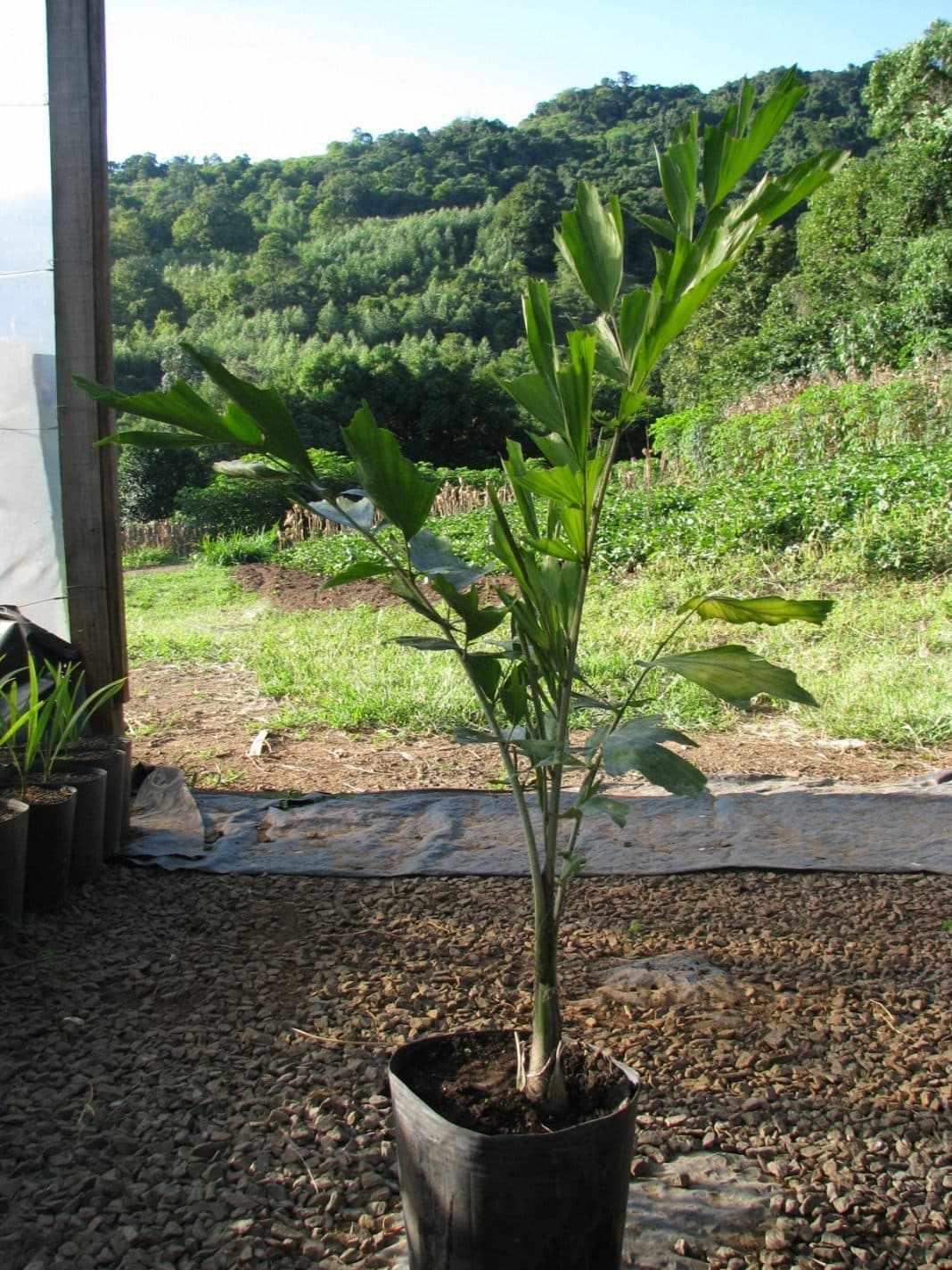 Растение Кариота