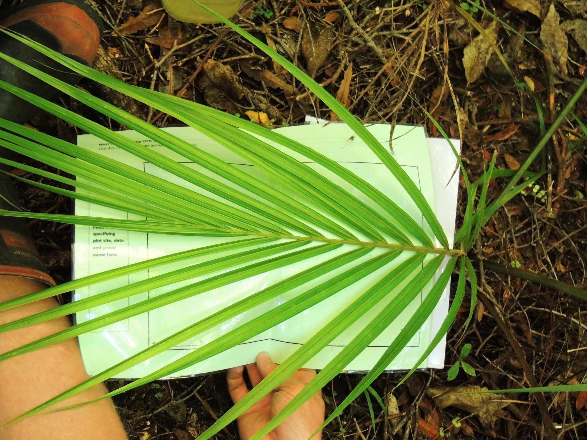 Перистая пальма Ропалостилис
