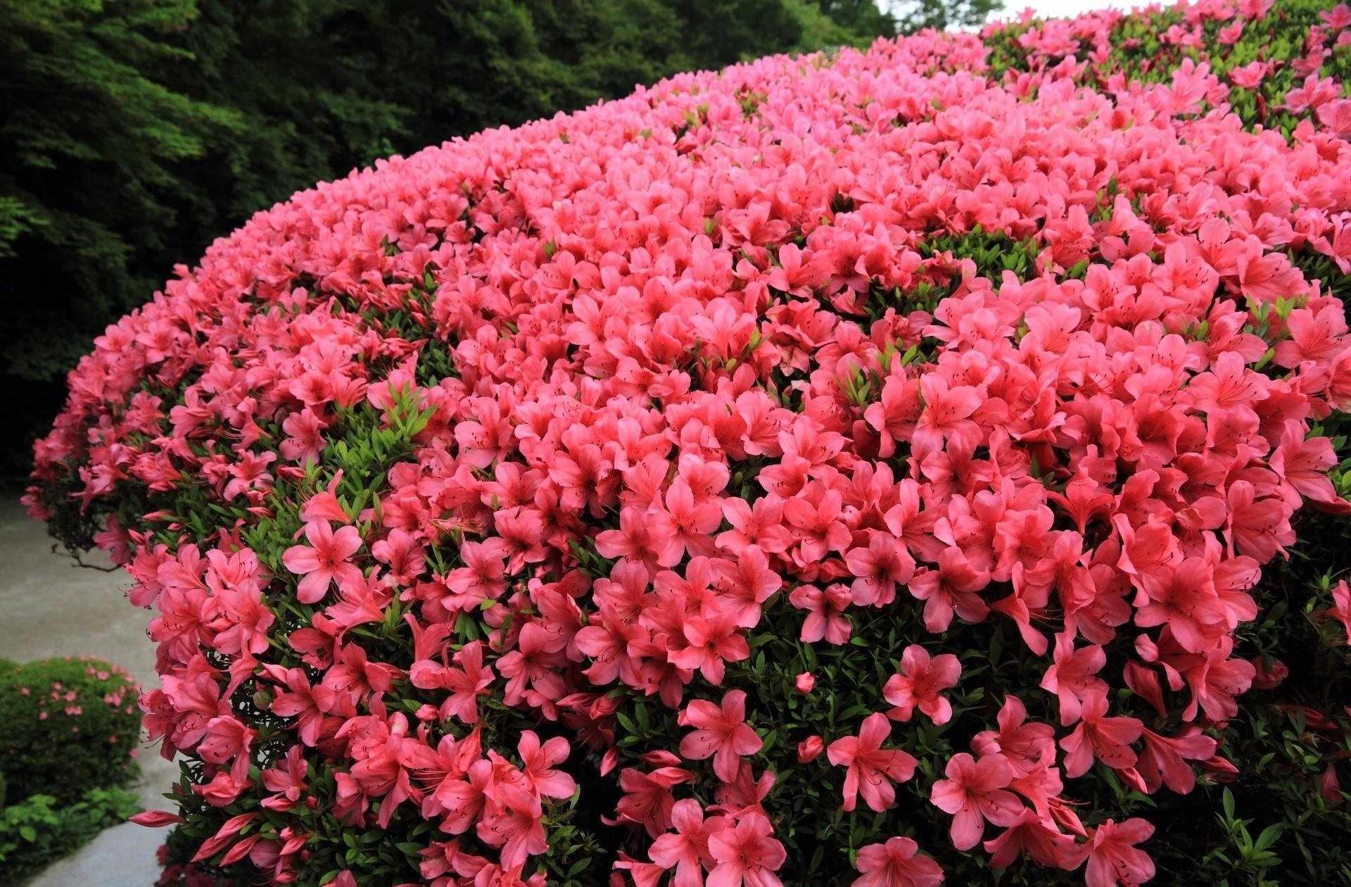 Азалия цветет