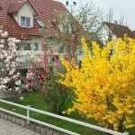 Желтые кустарники для сада