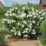 Белый цветущий кустарник в саду
