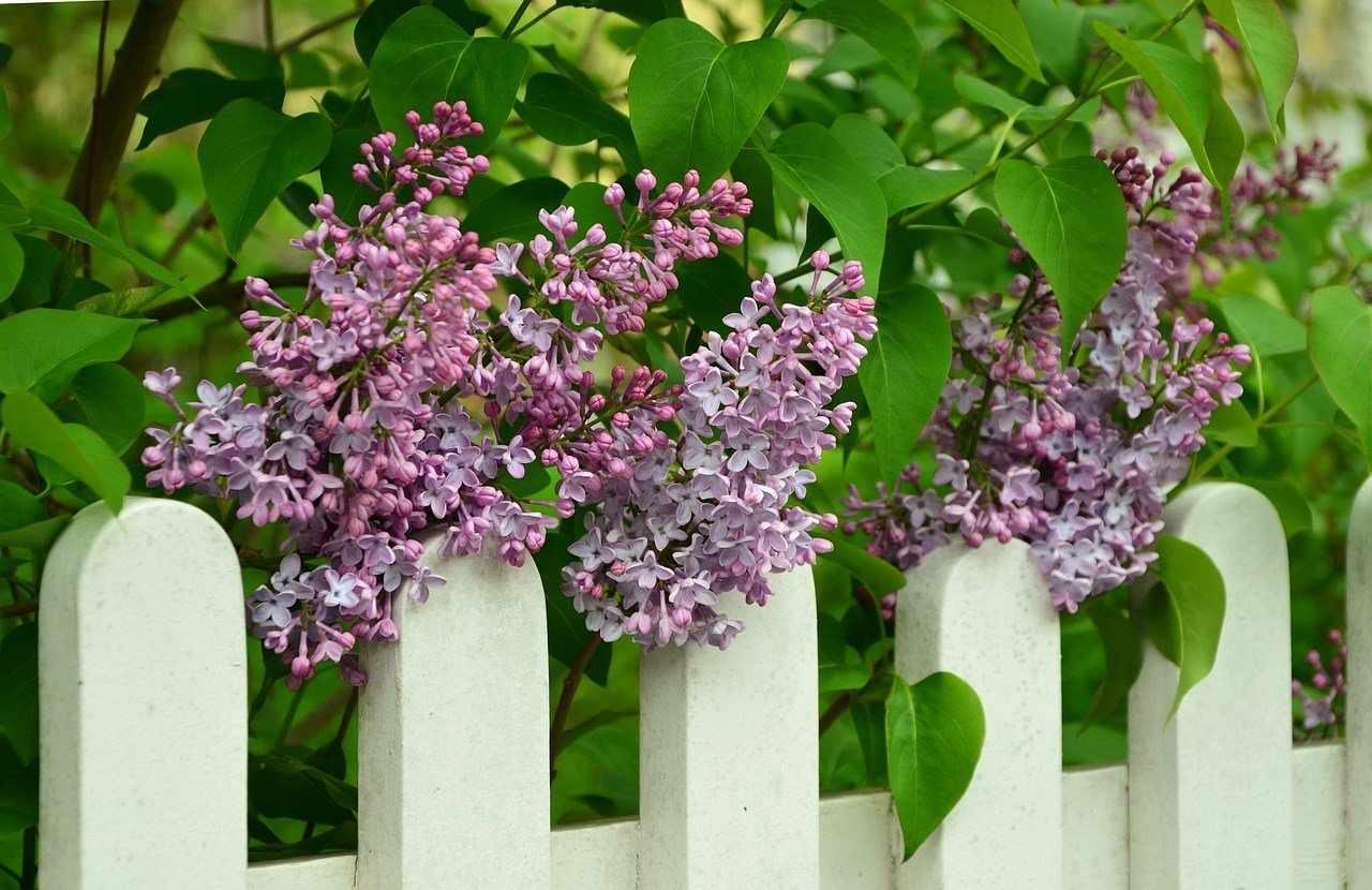 Сирень на заборе