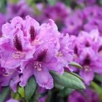 Цветение рододендрона