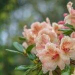 Рододендрон персиковый