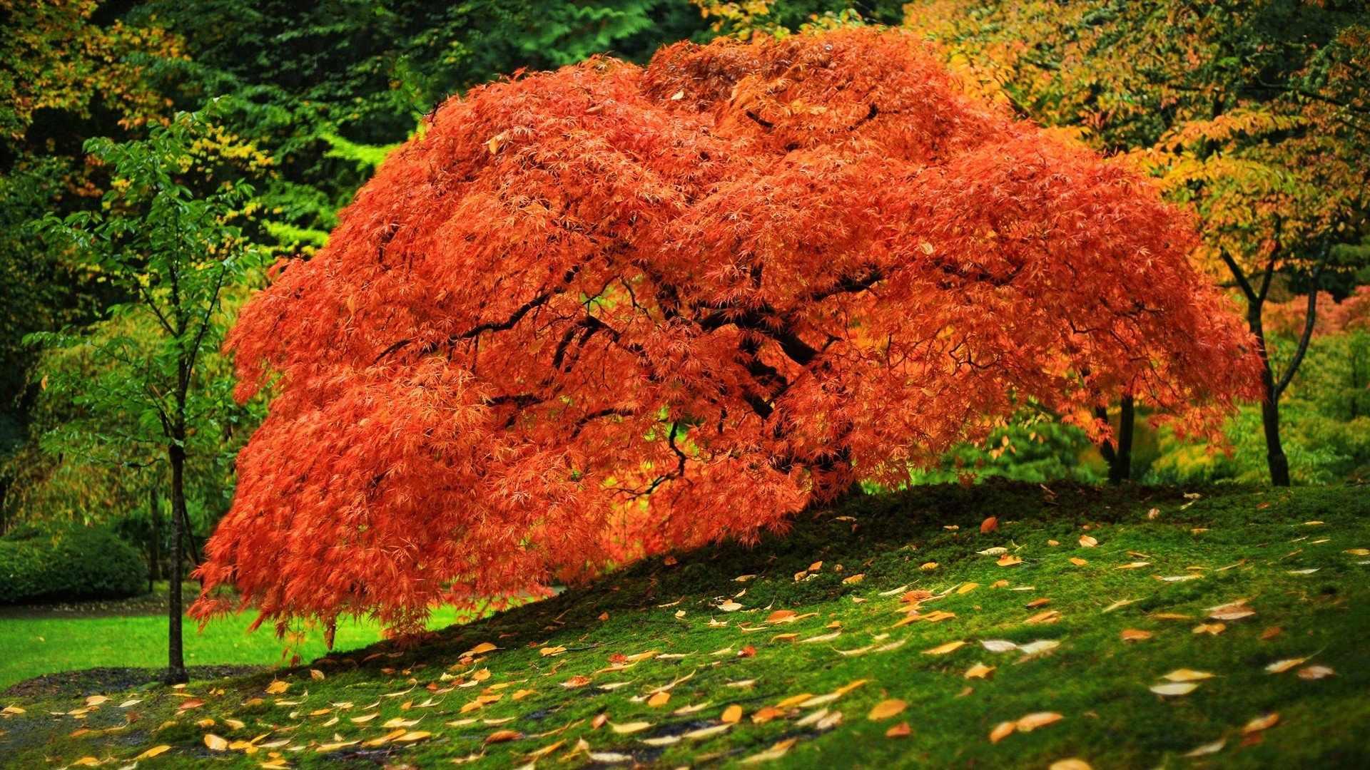Красный японский клен
