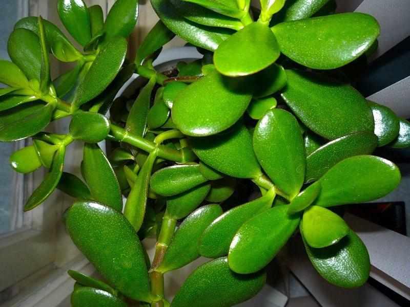 Листья денежного дерева