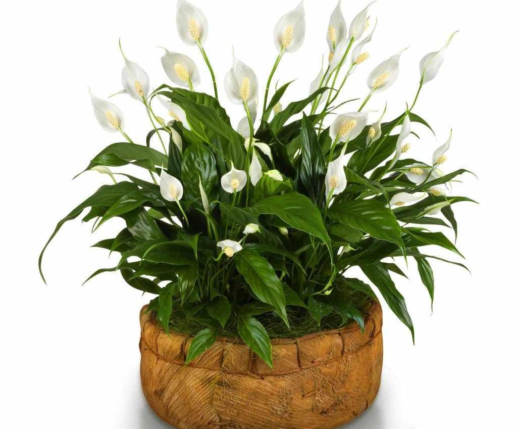 Цветок спатифиллум