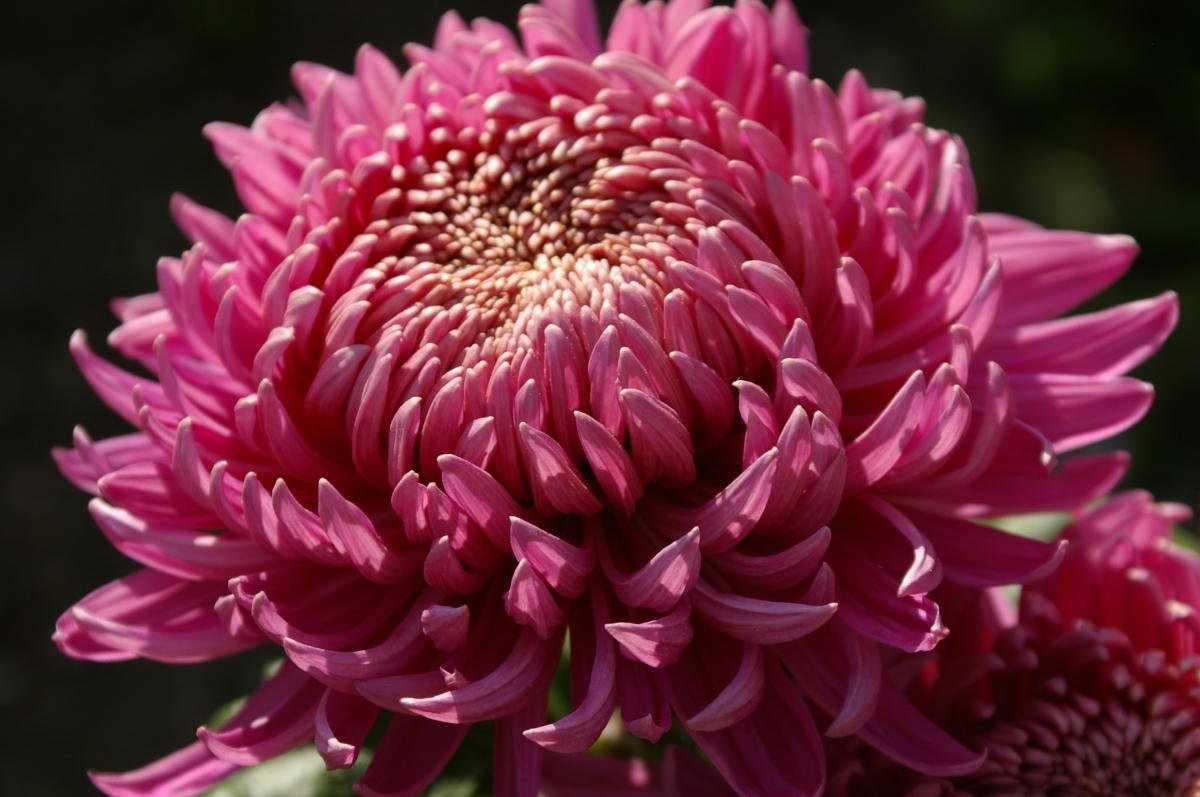 Резная хризантема