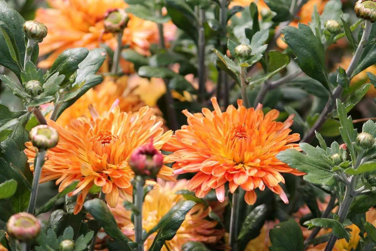 Сорт хризантем