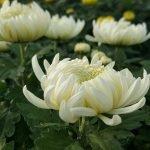 Чайная хризантема