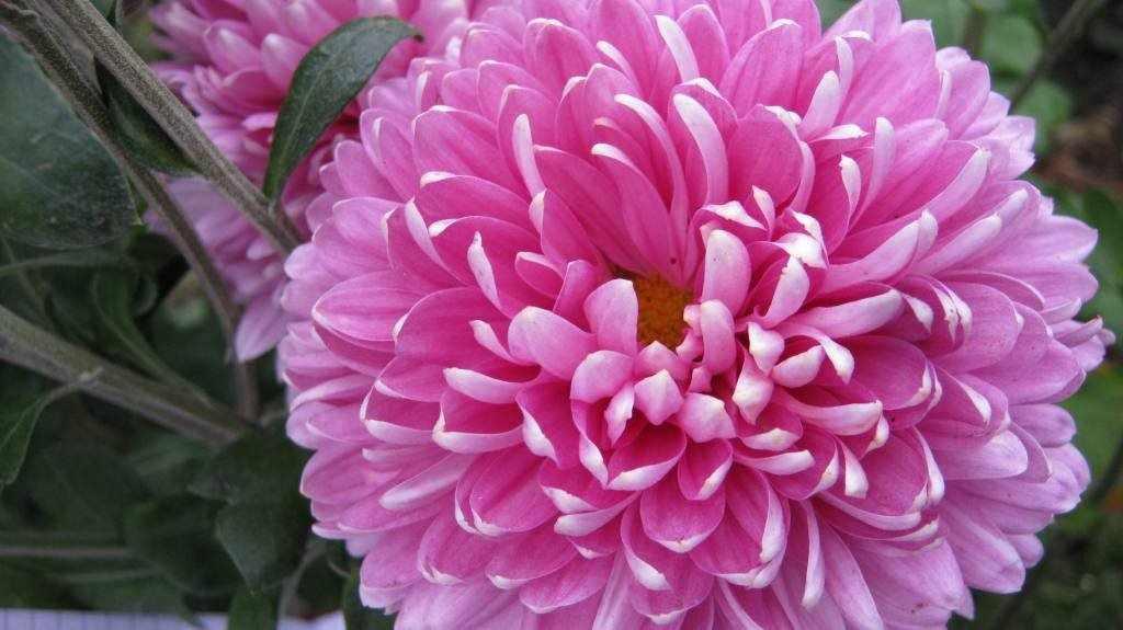 Сиреневая хризантема
