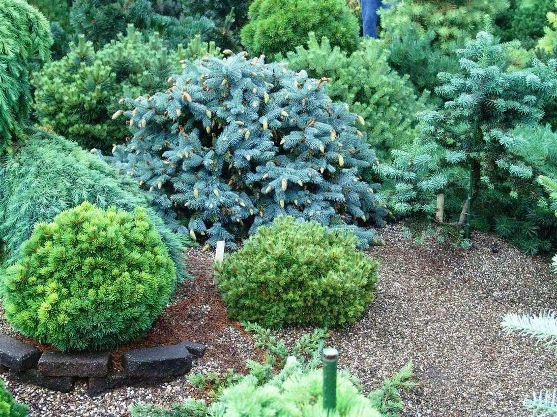 Ландшафтный дизайн с хвойными растениями