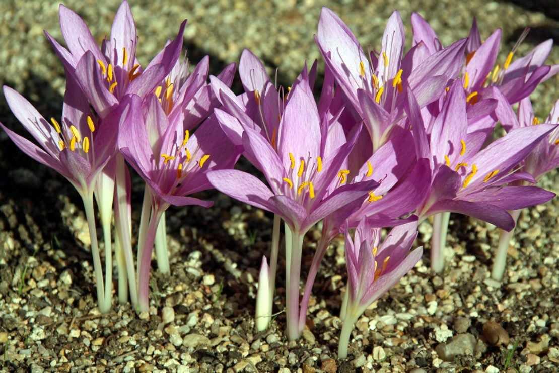 Безвременник цветет