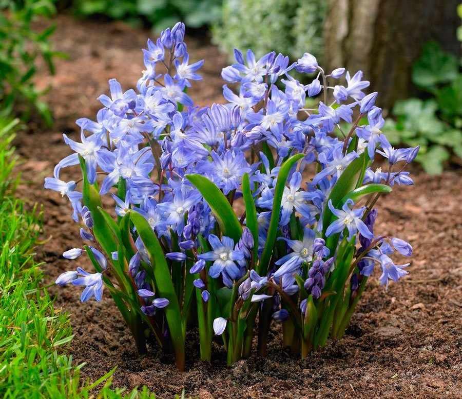 Цветущие хионодоксы