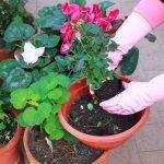Пересадка домашней розы