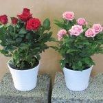 два вазона с розой