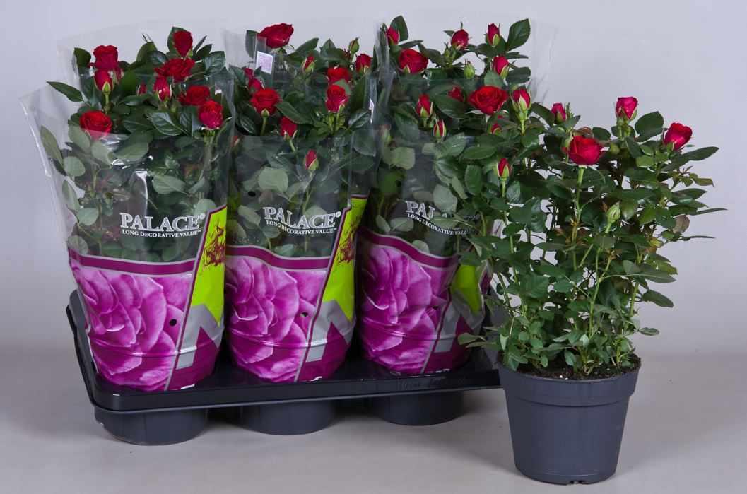 Как выбрать розу