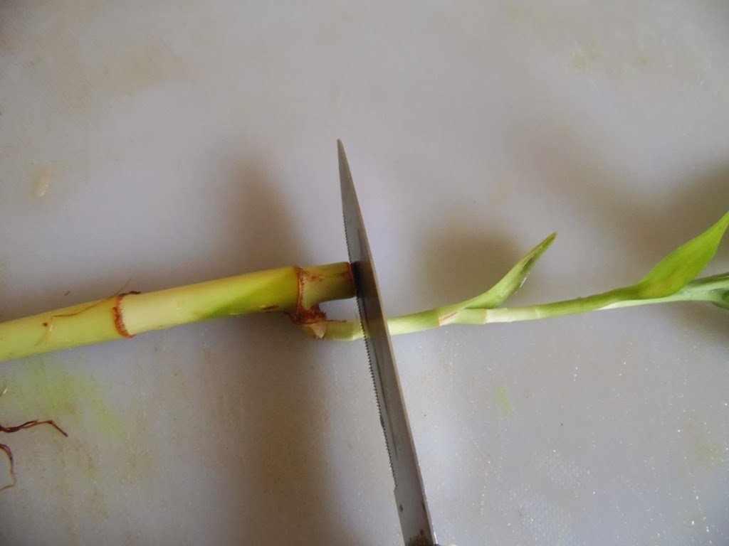 Обрезка комнатного бамбука