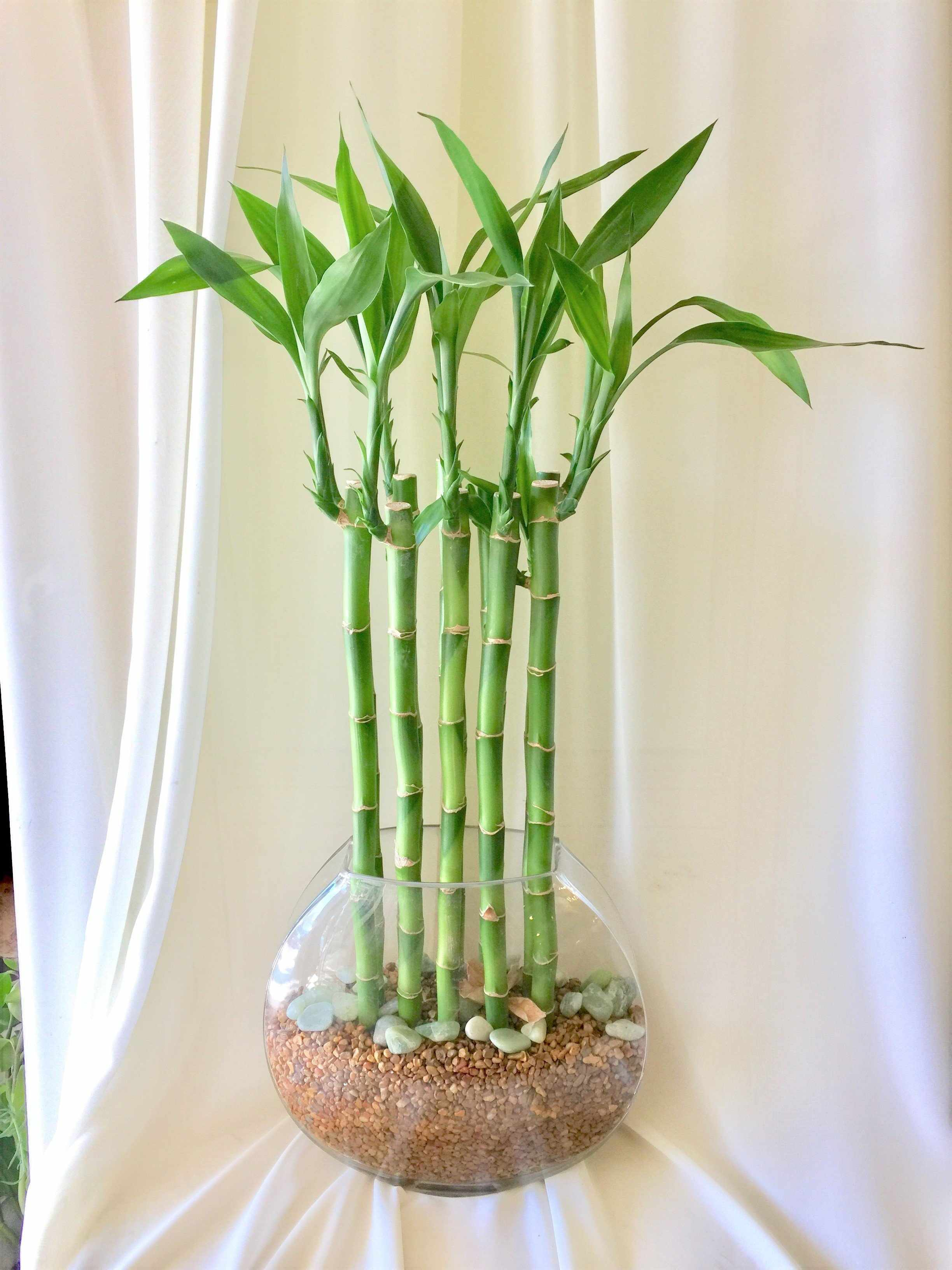 Стеклянная емкость с комнатным бамбуком