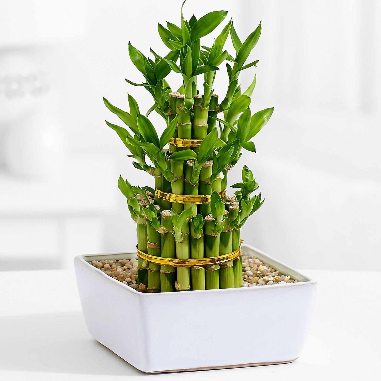 Горшок с комнатным бамбуком на столике