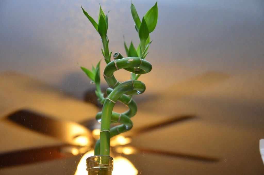Бамбук в комнате