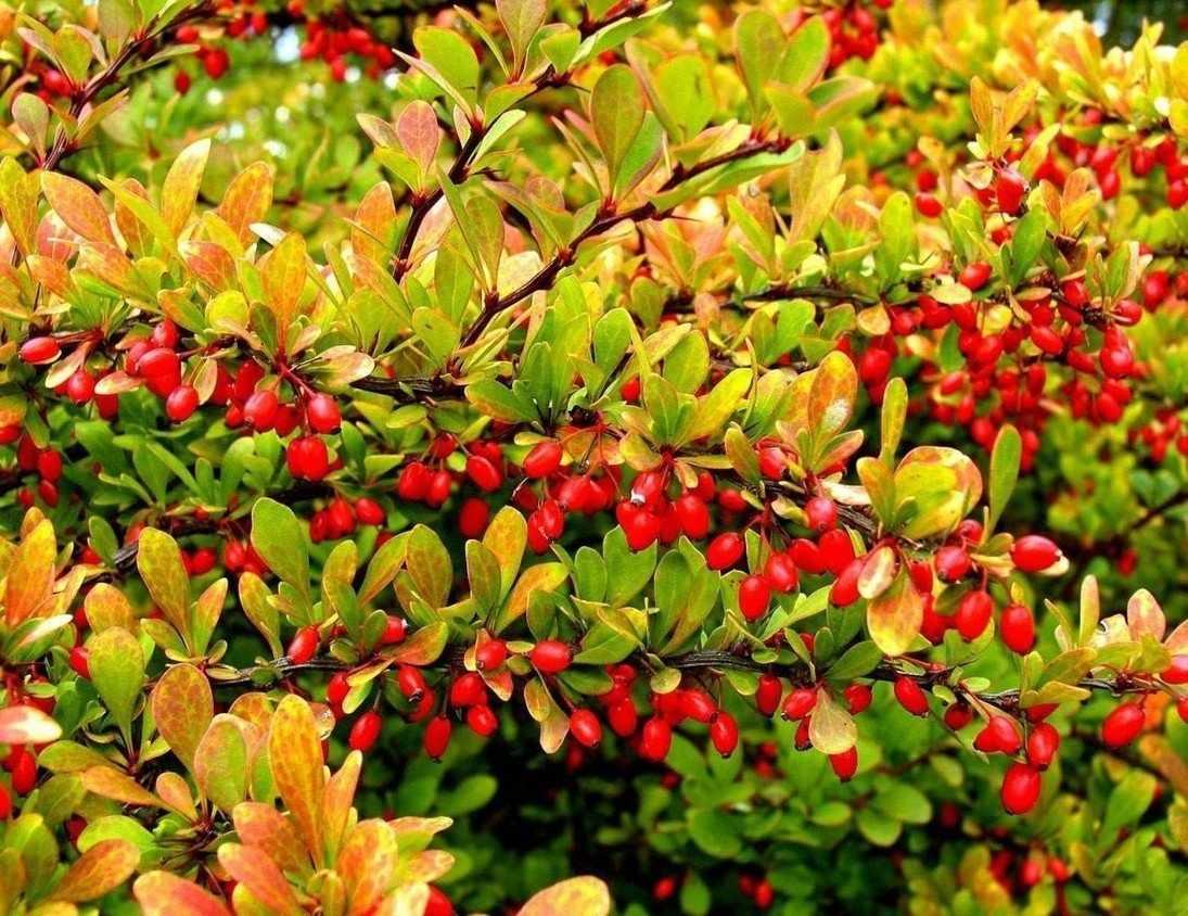 Растение барбарис