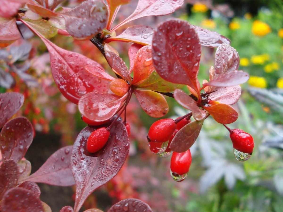Ветки с красными ягодами