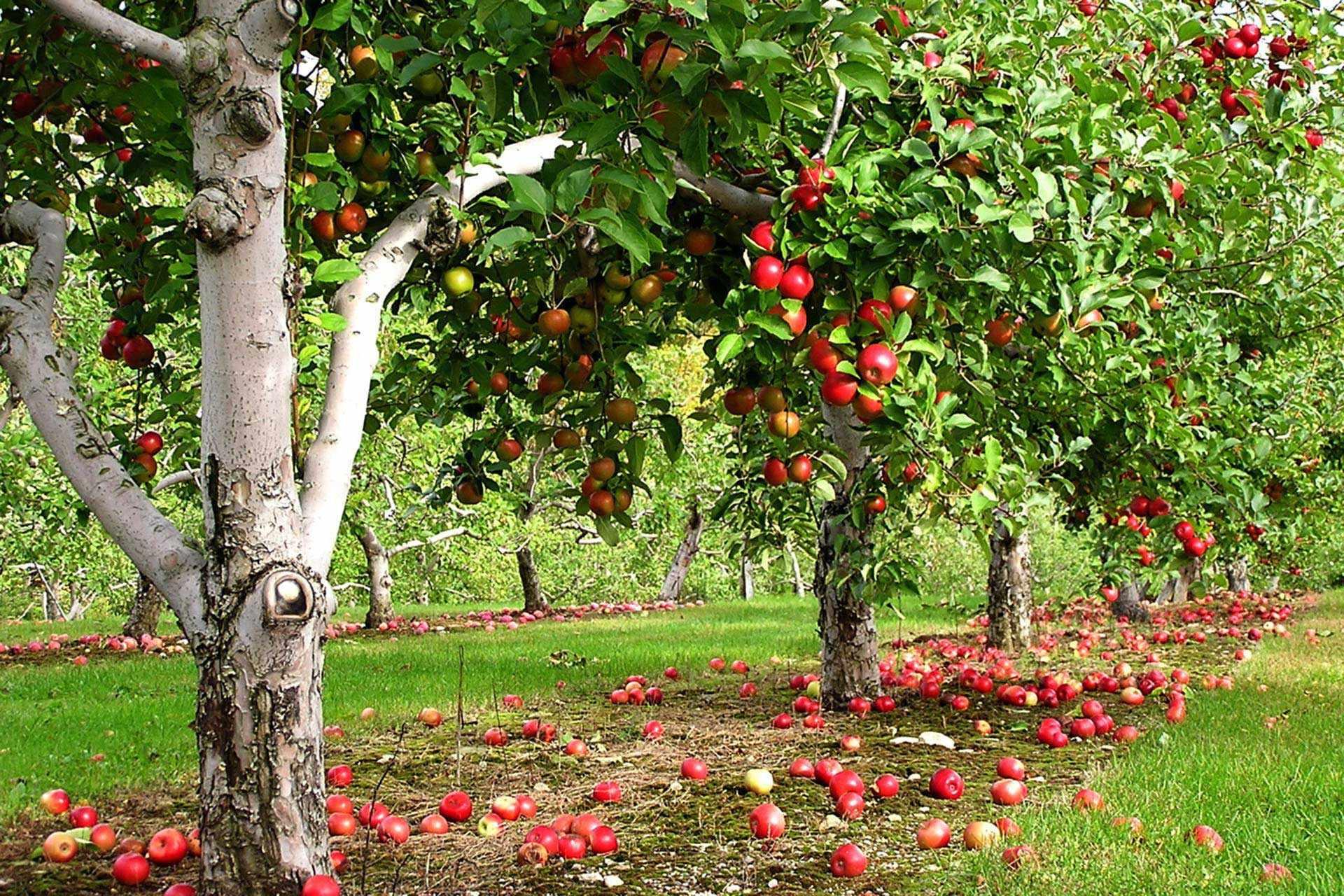 Яблоневый сад на даче