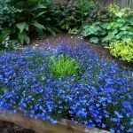 Синие низкорослые цветы