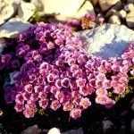 Низкорослые цветы