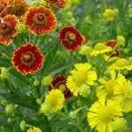 Желтые и оранжевые позднецветущие цветы
