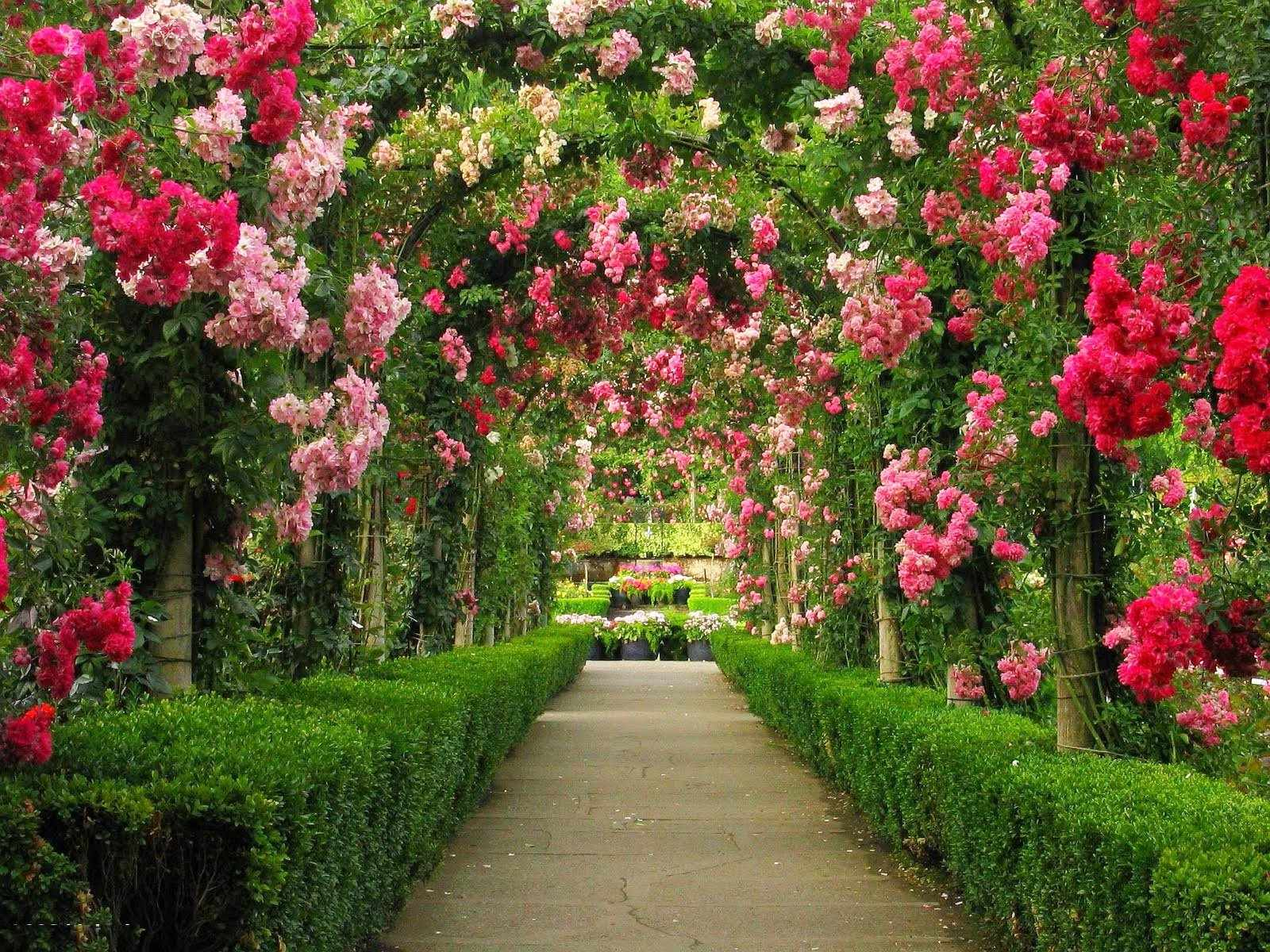 Ампельные розы