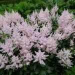 Розовая астильба