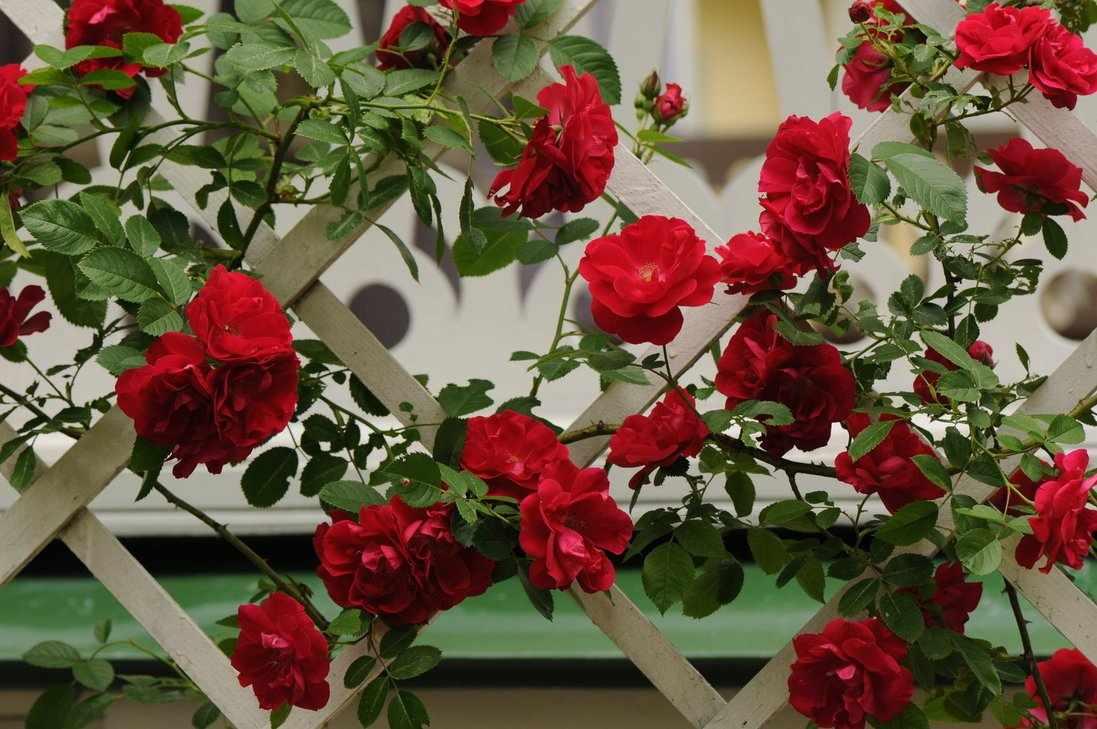 Плетистая роза на декоративном заборчике