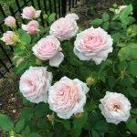 Розовые розы на садовом участке