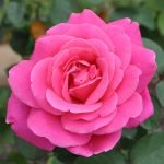 Роза малинового цвета