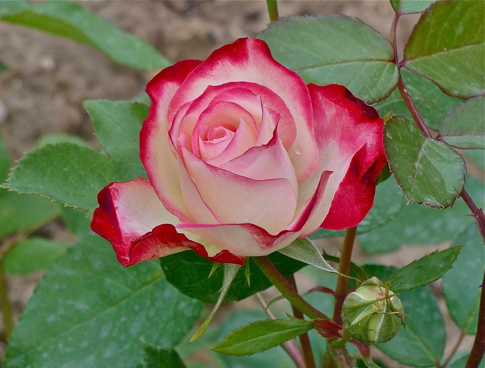 Красно-белая роза