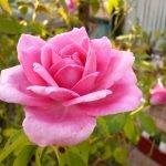 Распустился бутон розы розового цвета