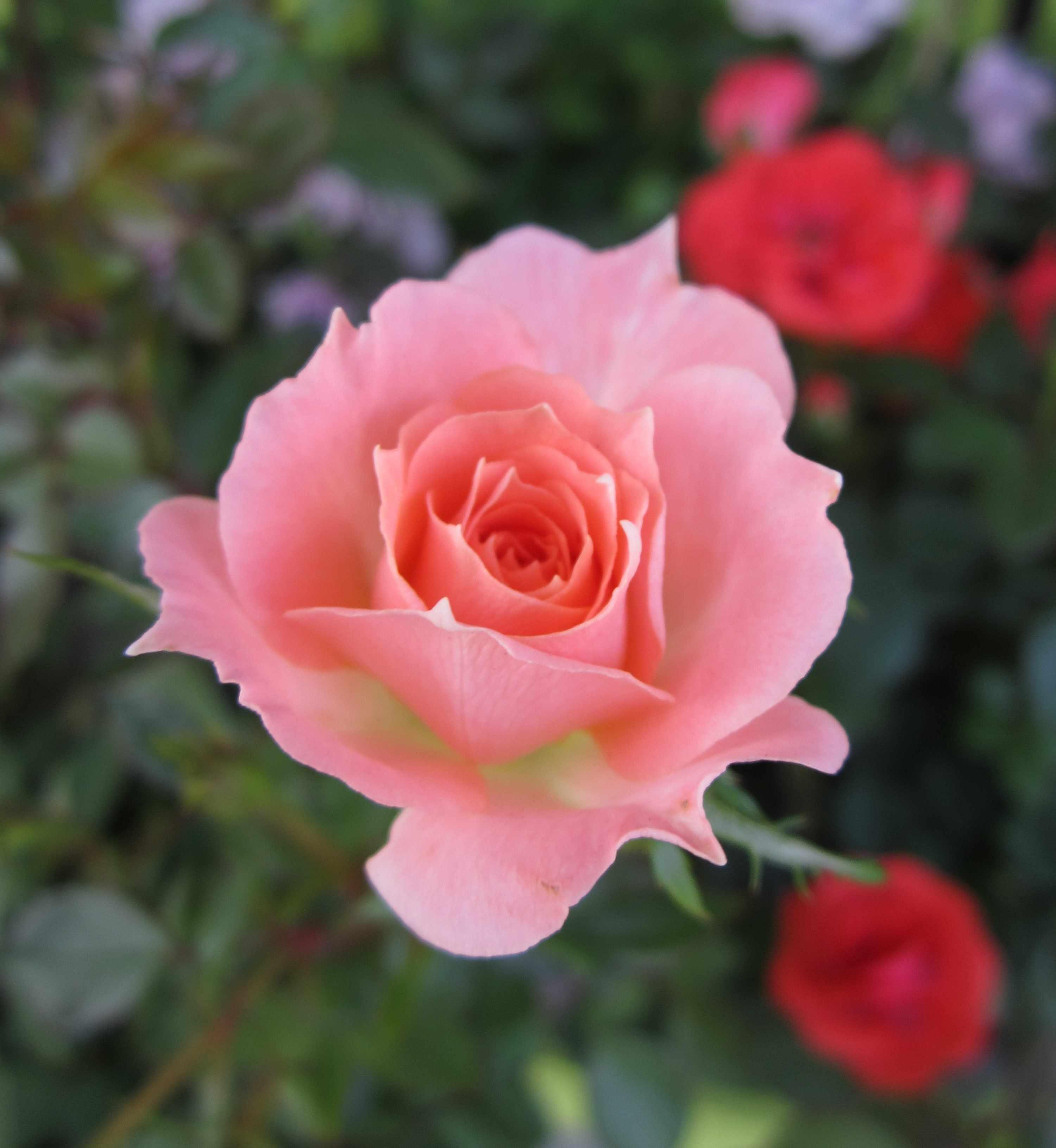 Роза розового оттенка в окружение красных цветов