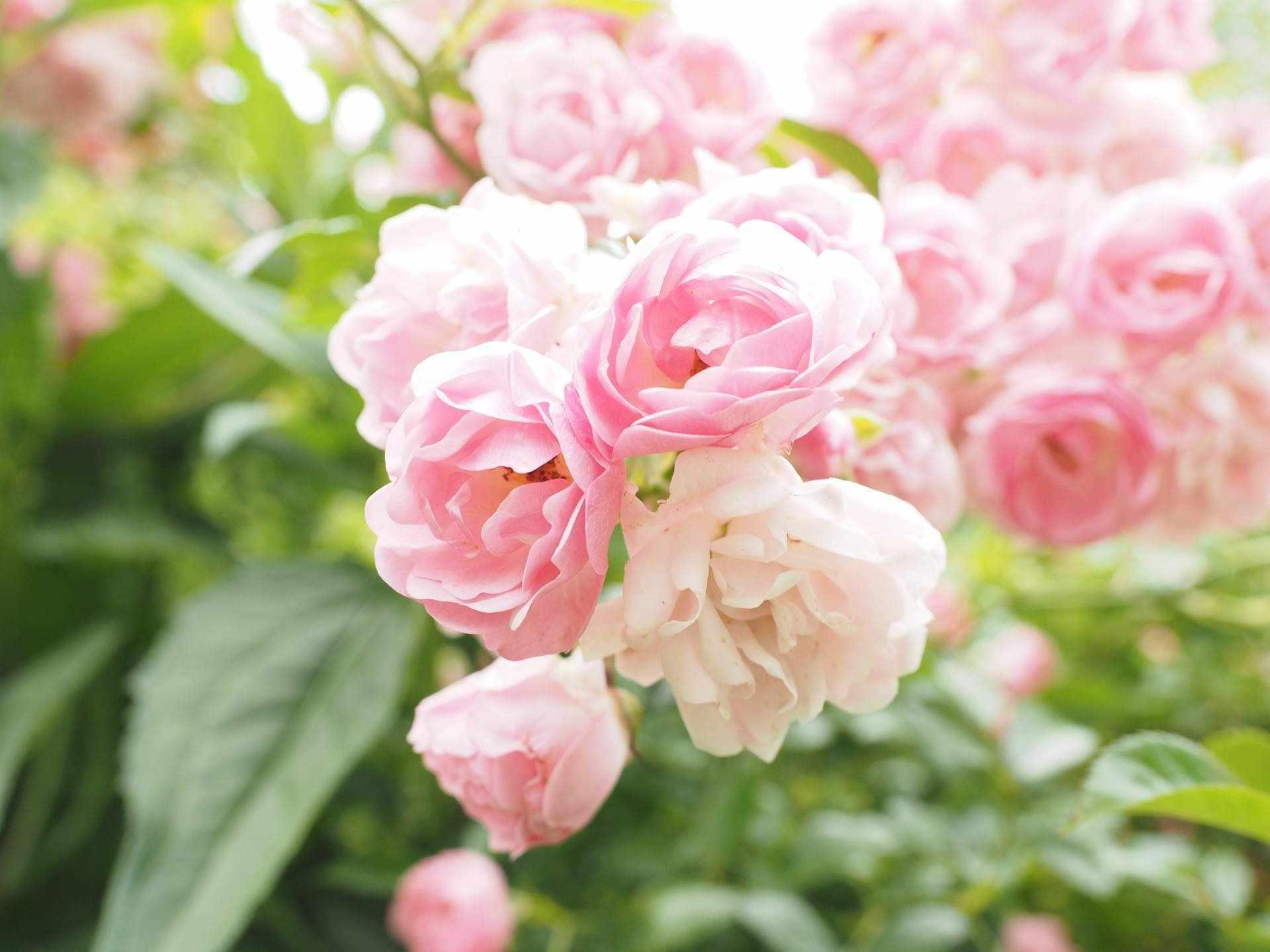 Цветение кустовой розы
