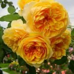 Цветение желтых махровых роз
