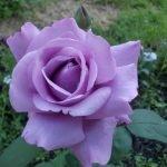 Роза нежно-фиолетового оттенка