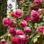 Цветение кустарника плетистого вида роз