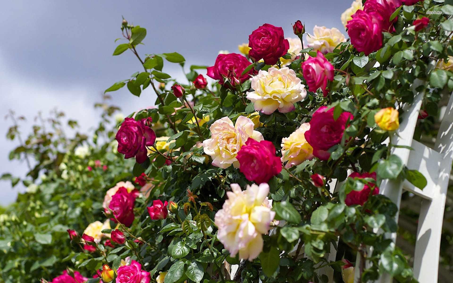 Желтые и красные плетистые розы