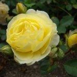 Нежность желтой розы