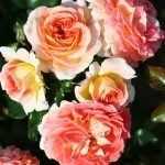 Нежно-персиковые розы